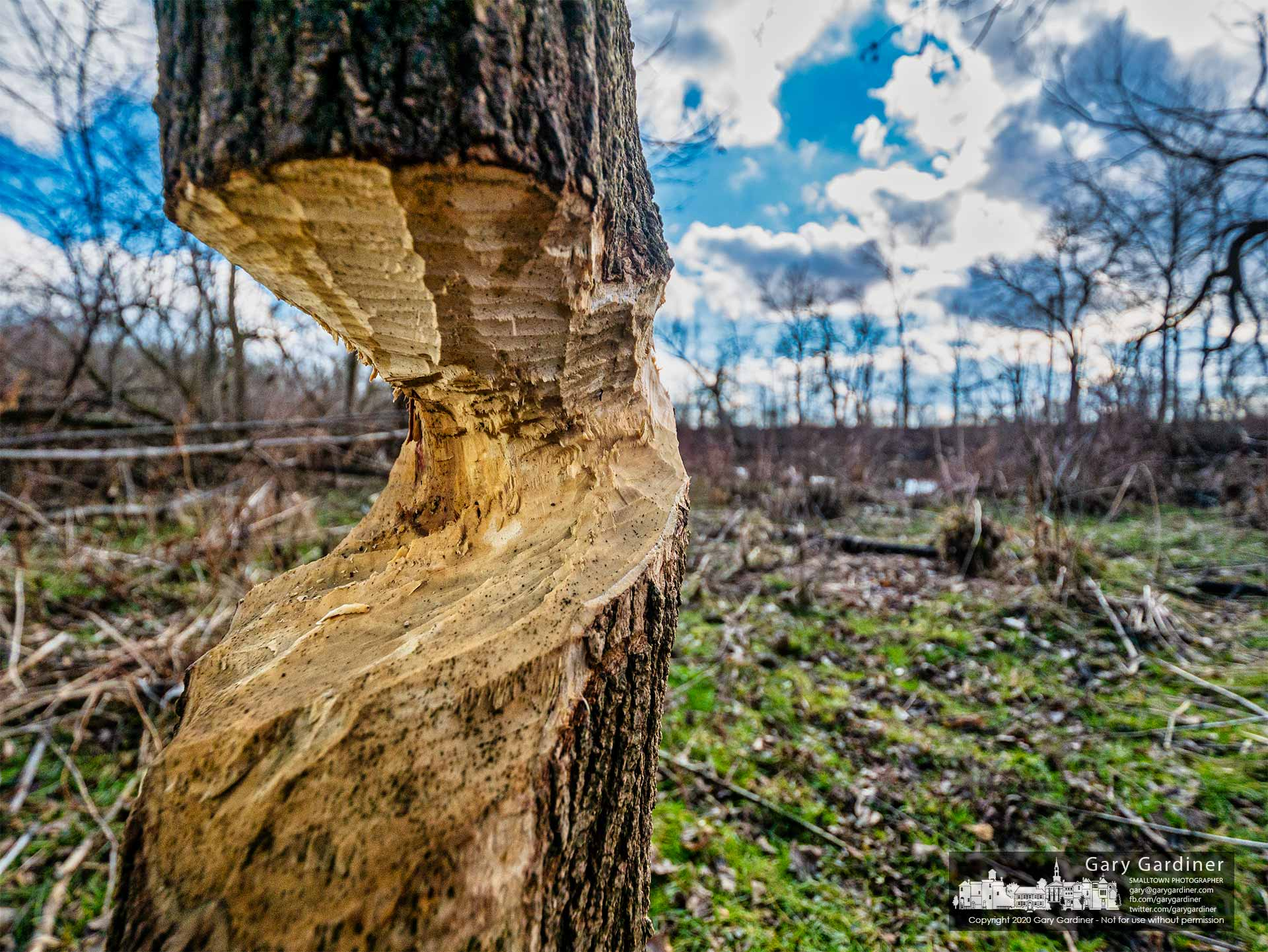 A tree at Alum Creek North bears the destructive scars of a beaver's overnight work cutting timber to build a lodge along the creek in Westerville. My Final Photo for Jan. 15, 2021.