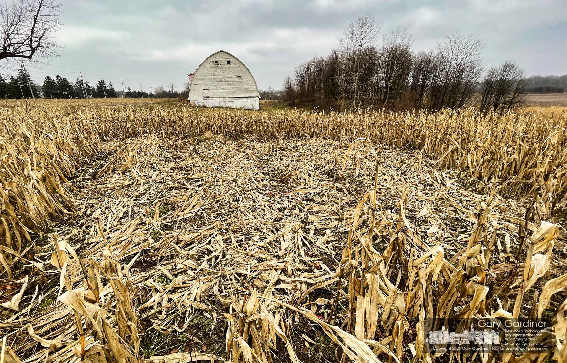 A section of corn lies flattened with the ears of corn picked clean by deer that roam the Braun Farm on Cleveland Ave. My Final Photo for Jan. 11, 2021.