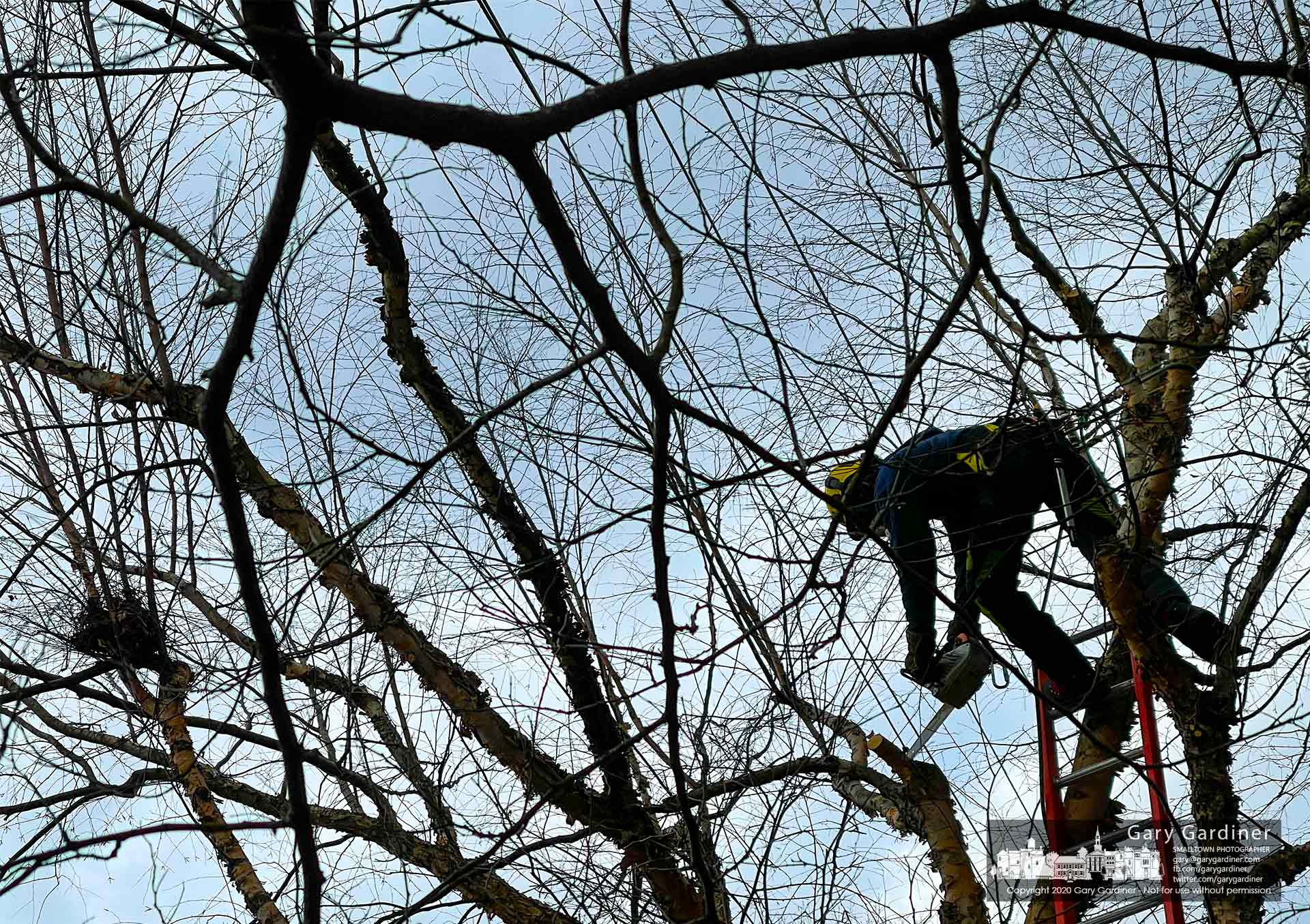 A city arborist is tangled in a mesh of tree limbs as he clears sections of trees from overhead power lines. My Final Photo for Jan. 22, 2021.