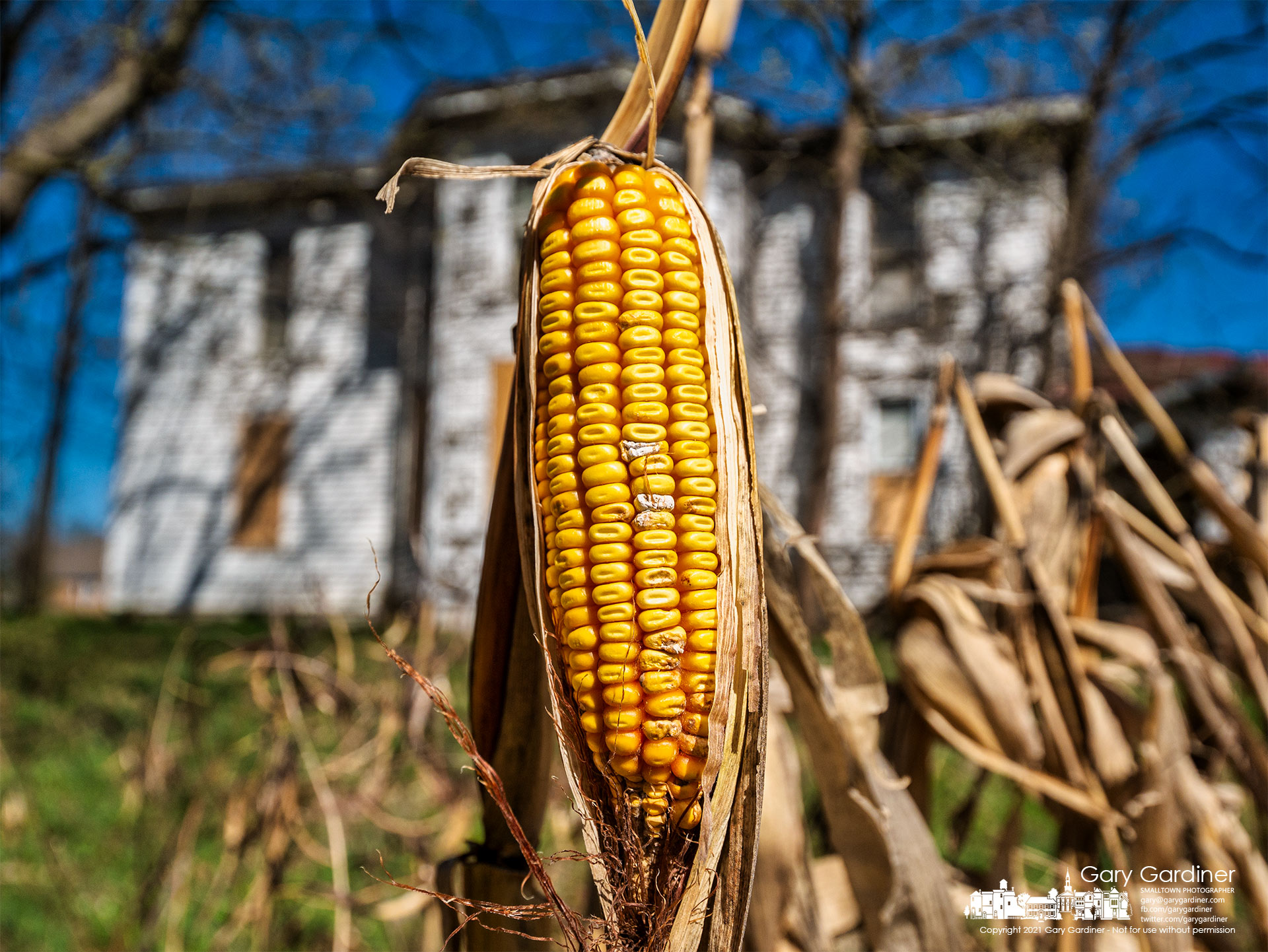 An ear of corn that avoided the maw of a single-row corn picker rests nearly alone as spring weather begins to warm the field next to the old farmhouse at the Braun Farm. My Final Photo for March 29, 2021.
