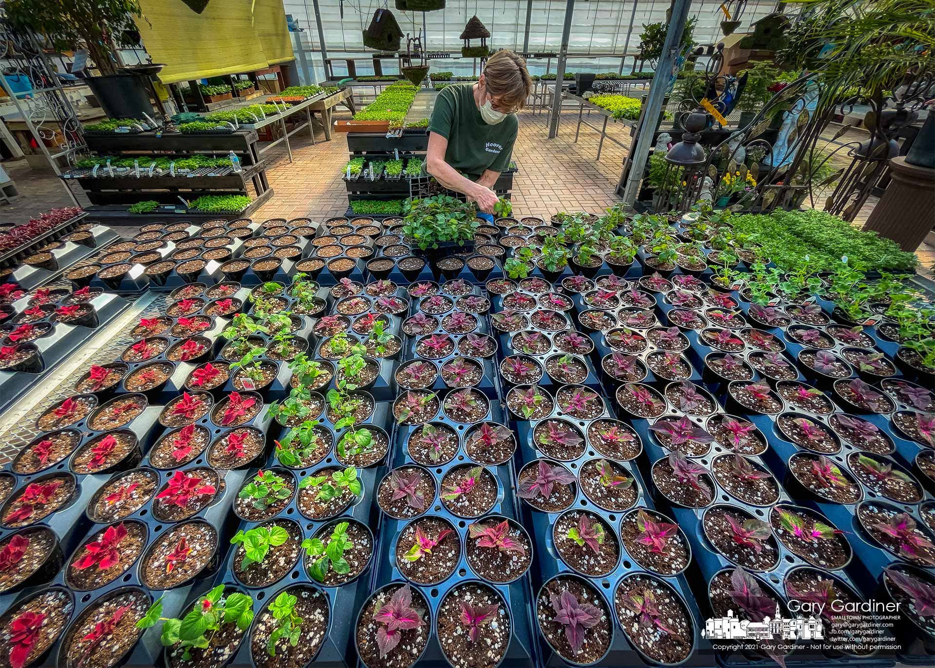 A gardener at Hoover Gardens replants seedlings into larger pots as the garden center prepares for the first day of Spring in about two weeks. My Final Photo for March 5, 2021.