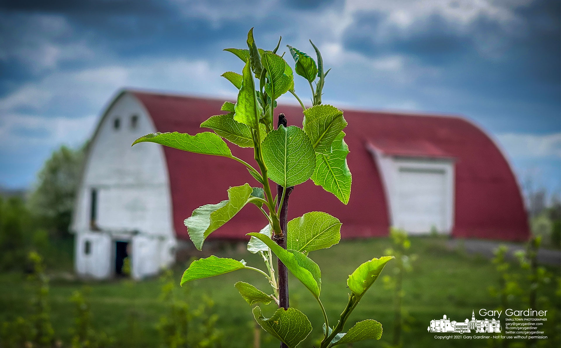 A Callery pear tree grows along with several hundred more in the fields at the Braun Farm as farmers wait for warmer and drier weather to plant this year's crops. My Final Photo for April 12, 2021.