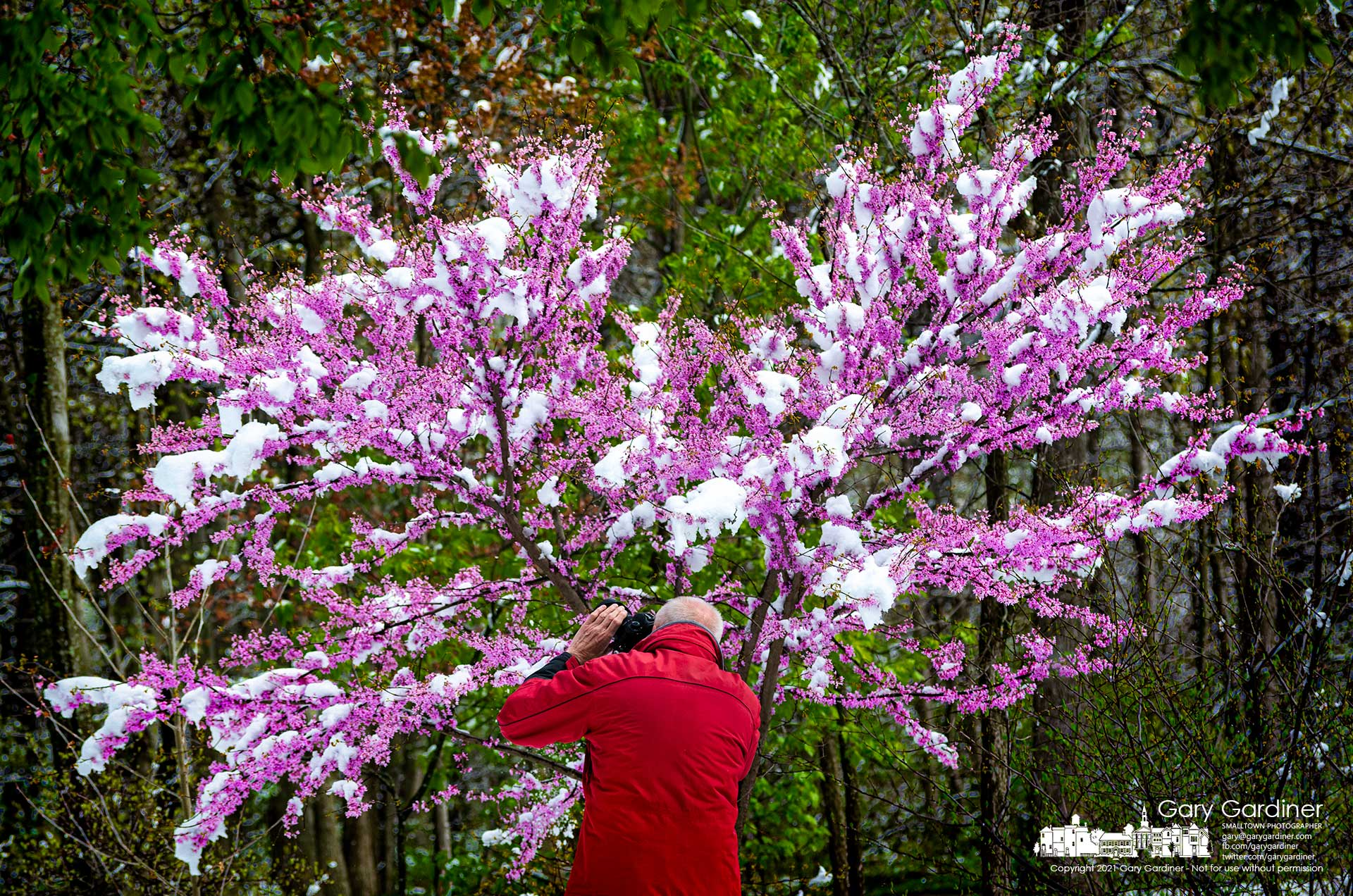 A photographer trains his camera on the snow-covered blossoms of a redbud tree at Inniswood Metro Gardens after an overnight Spring snowfall. My Final Photo for April 21, 2021.