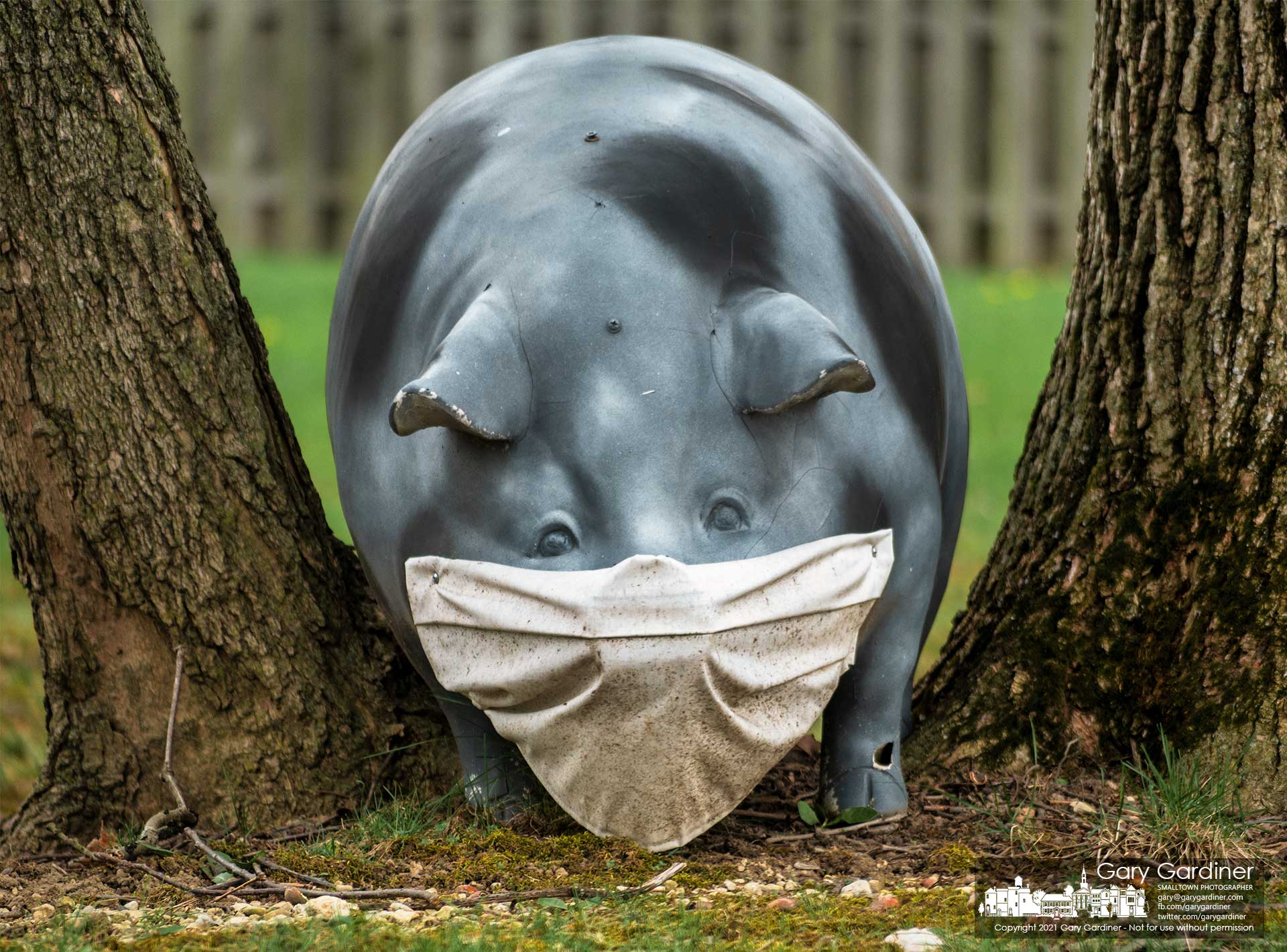 A porcine lawn ornament wears a snout mask to protect itself from the possibility of contracting an airborne illness from its perch on Spring Rd. My Final Photo for April 8, 2021.