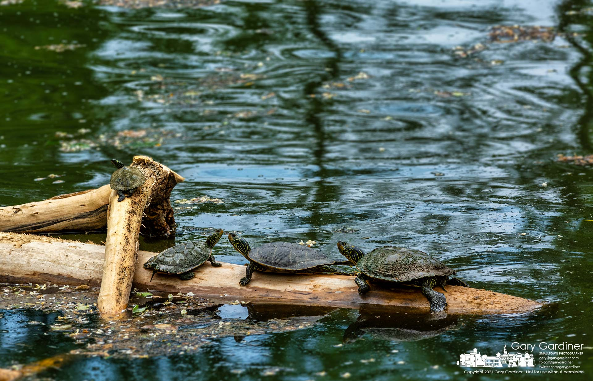 Four painted turtles sun themselves on denuded trees cleared of bark from the rough waters at the Alum Creek Dam in Westerville. My Final Photo for May 24, 2021.