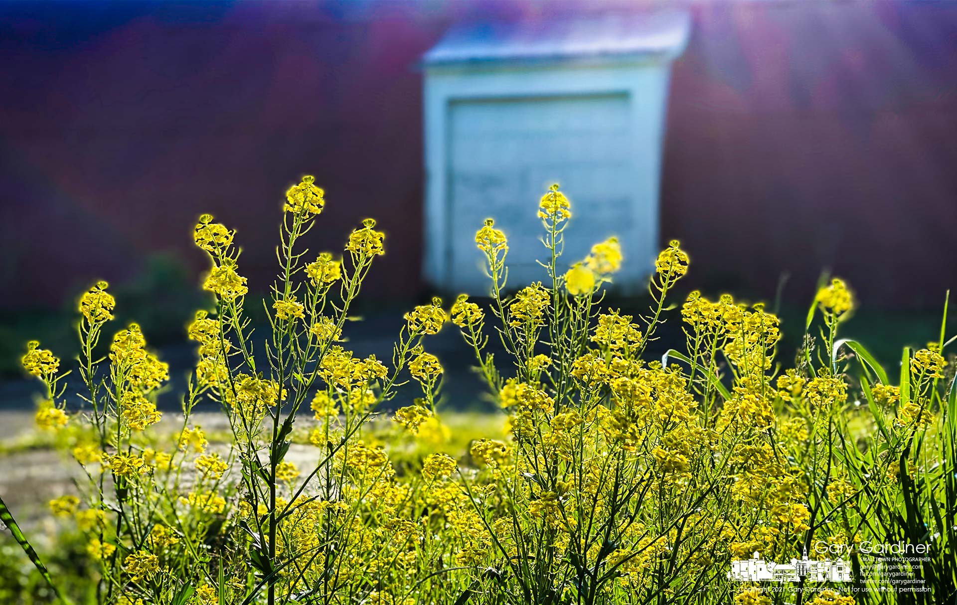 The morning sun breaks through the fog casting rays across the Braun Farm barn onto flowering Yellow Rocket. My Final Photo for May 10, 2021.