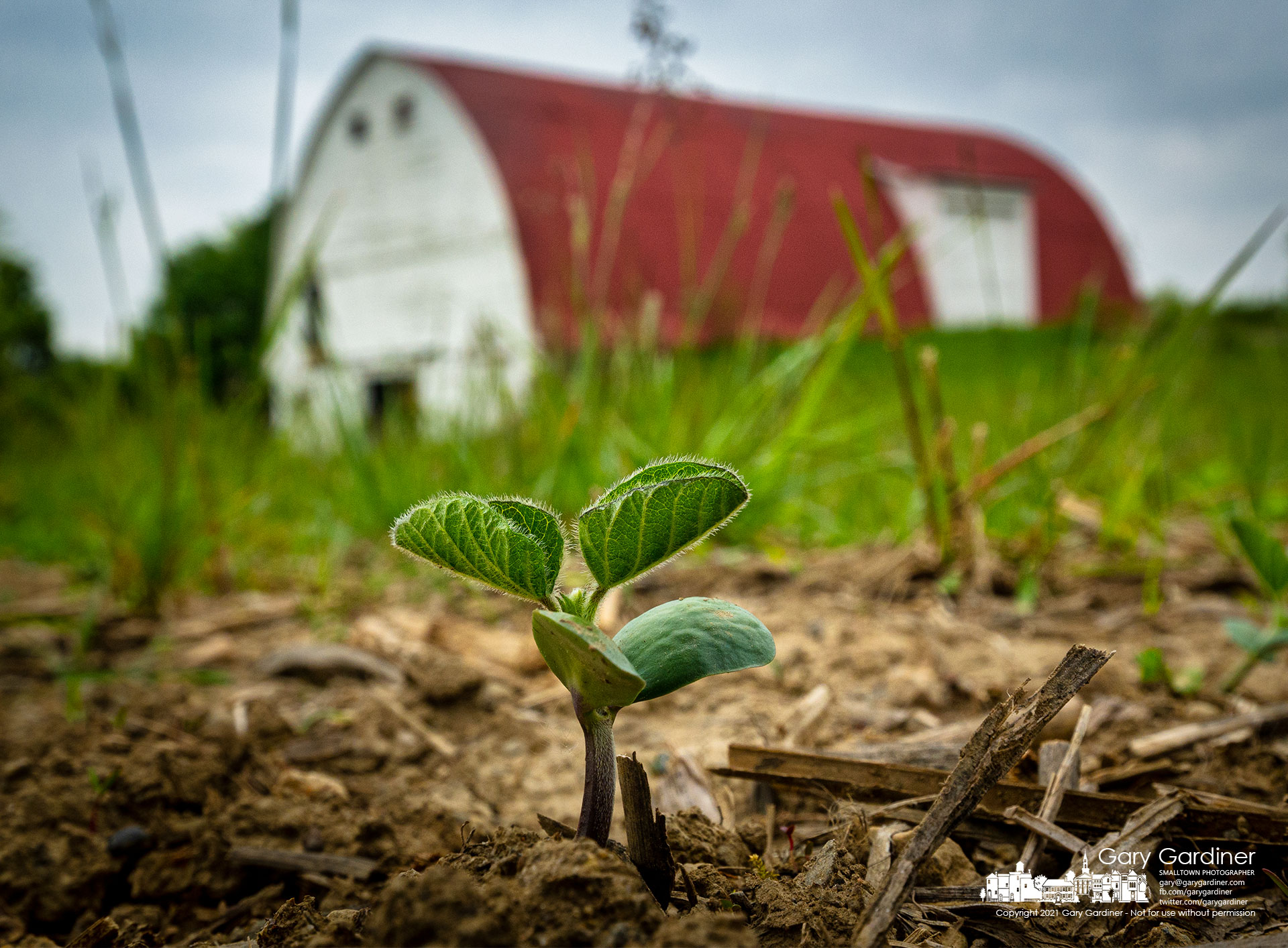The first true leaves of a soybean plant begin to spread open on the Braun Farm more than two weeks after planting. My Final Photo for May 17, 2021.
