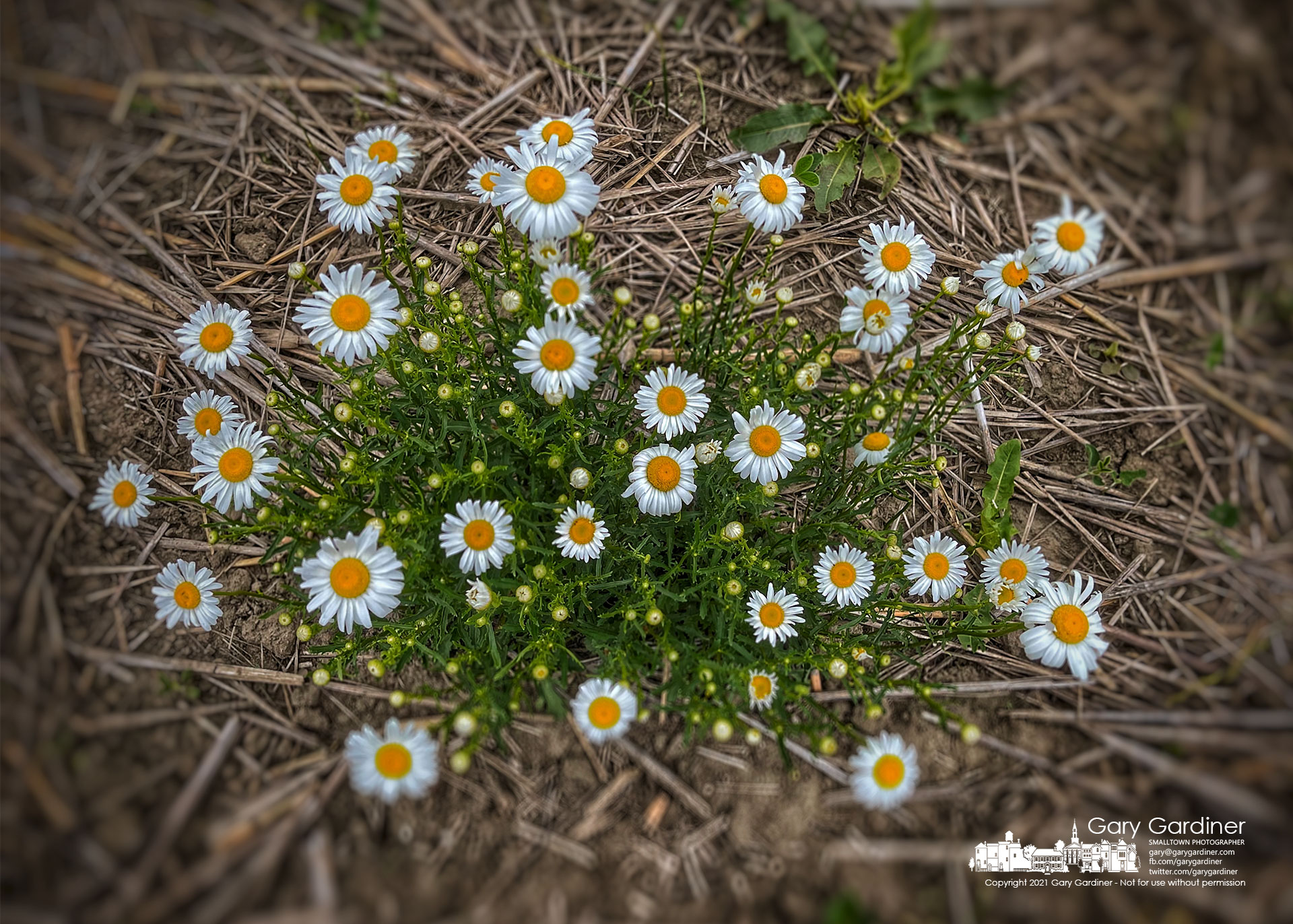 A blooming Oxeye daisy plant stands out against the dried soil and detritus of the lower field on the Braun Farm where the noxious plant shows itself every spring. My Final Photo for June 1, 2021.