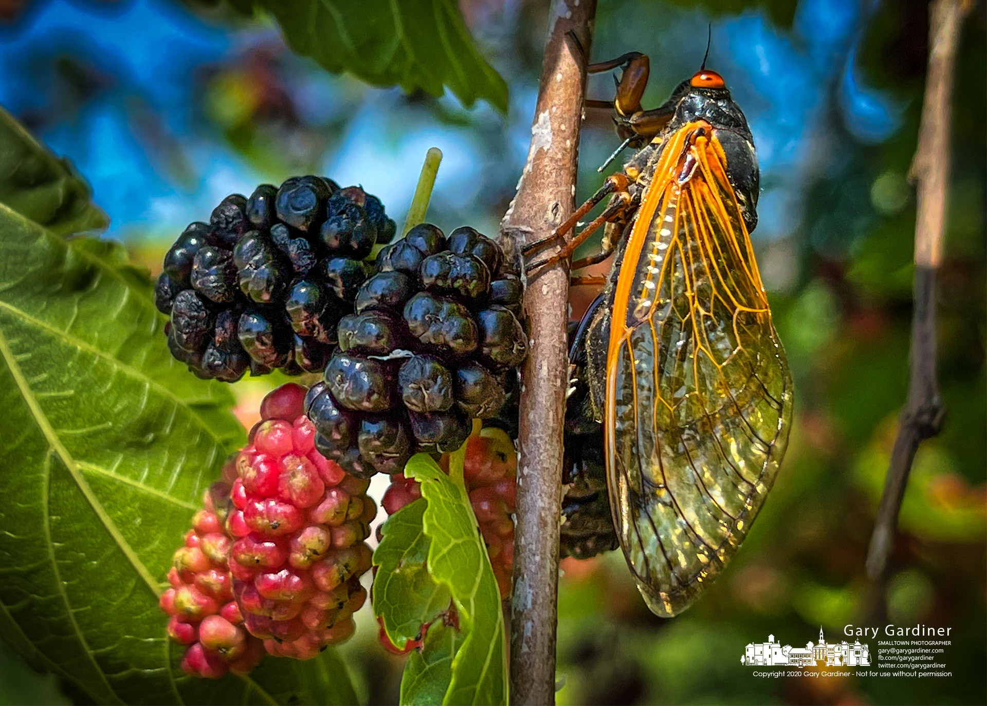 A cicada climbs along the limb of a mulberry tree with ripening fruit that is typically ignored by the insects during their ew weeks above ground. My Final Photo for June 16, 2021.