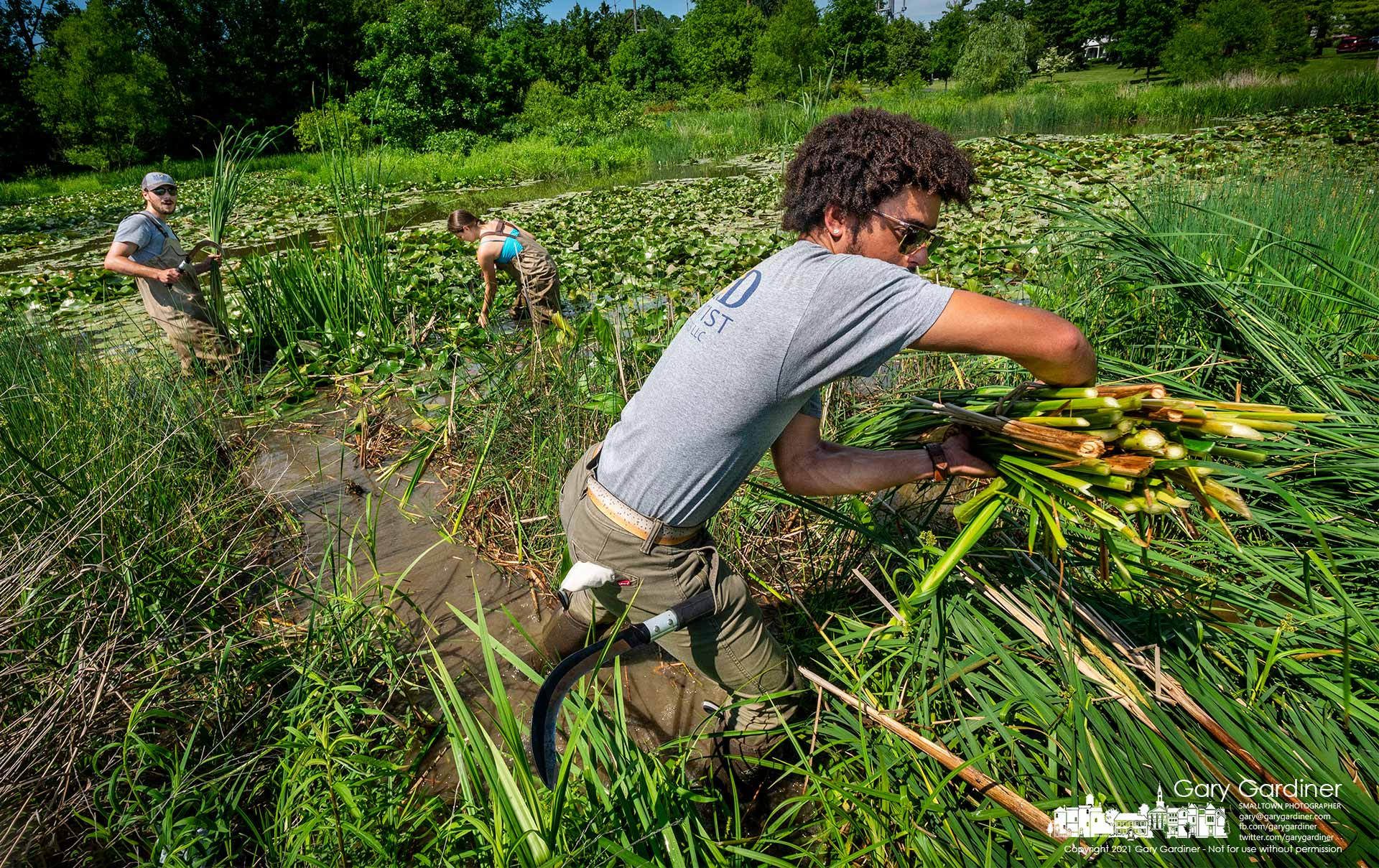 A crew from MAD Scientist cuts invasive narrow-leaved cattail from a section of the wetlands at the Highlands Aquatic Center park. My Final Photo for June 4, 2021.