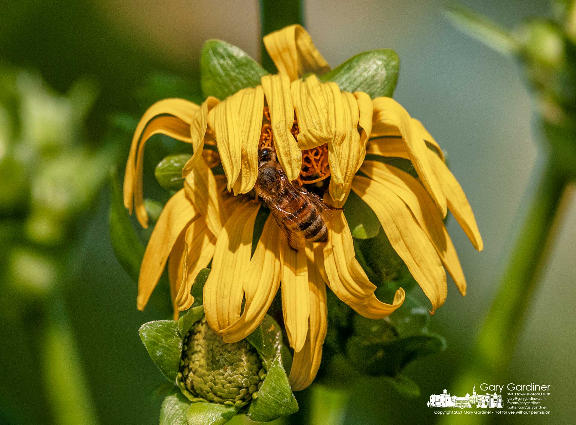 A honey bee moves wilted flower petals out of the way to make its way to the nectar of a wildflower growing in the wetlands at Highlands Aquatic Park. My Final Photo for July 27, 2021.