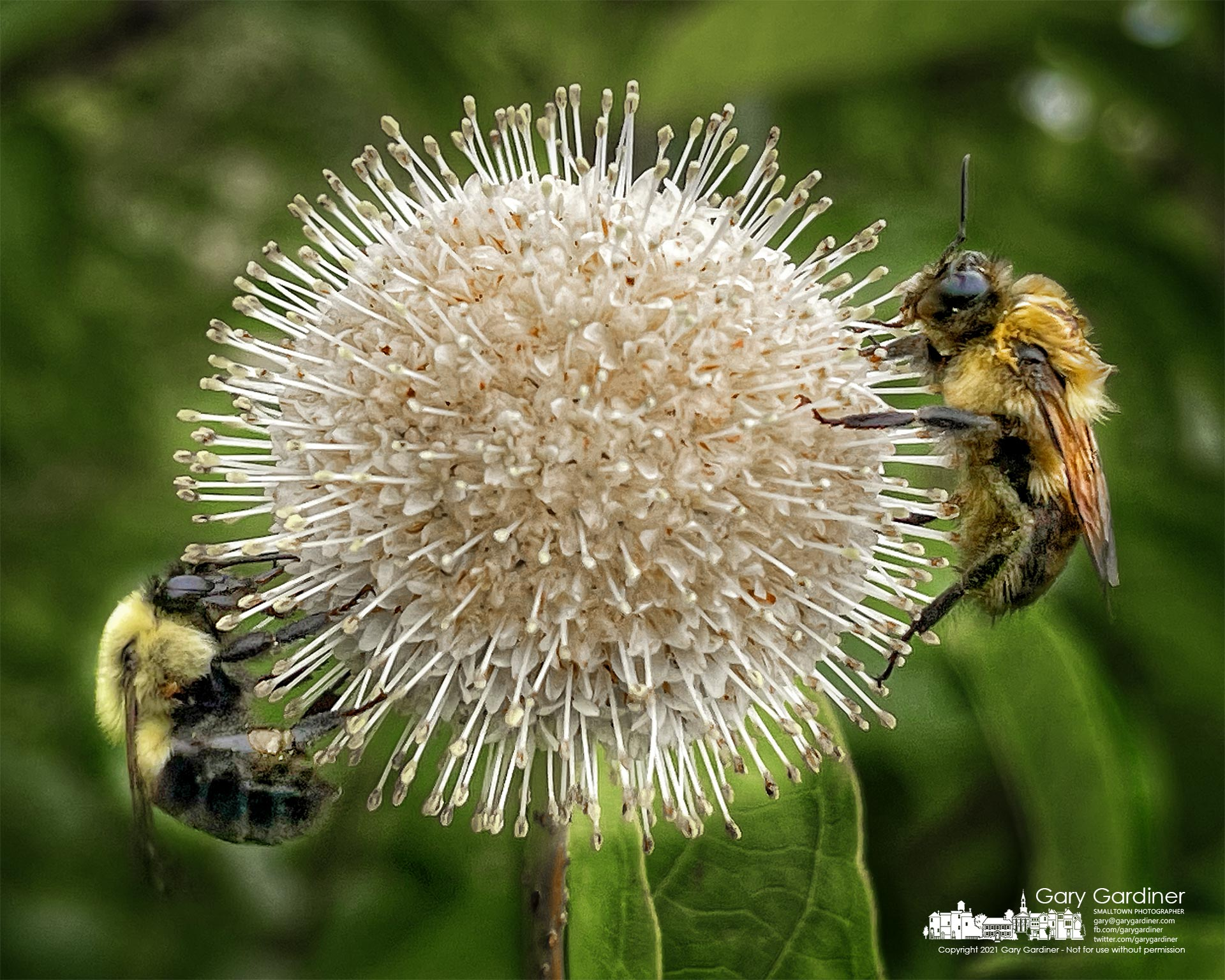 A pair of bees collect nectar and pollen from a buttonbush growing along the edge of the wetlands at Highlands Aquatic Center. MyF inal Photo for July 1, 2021.
