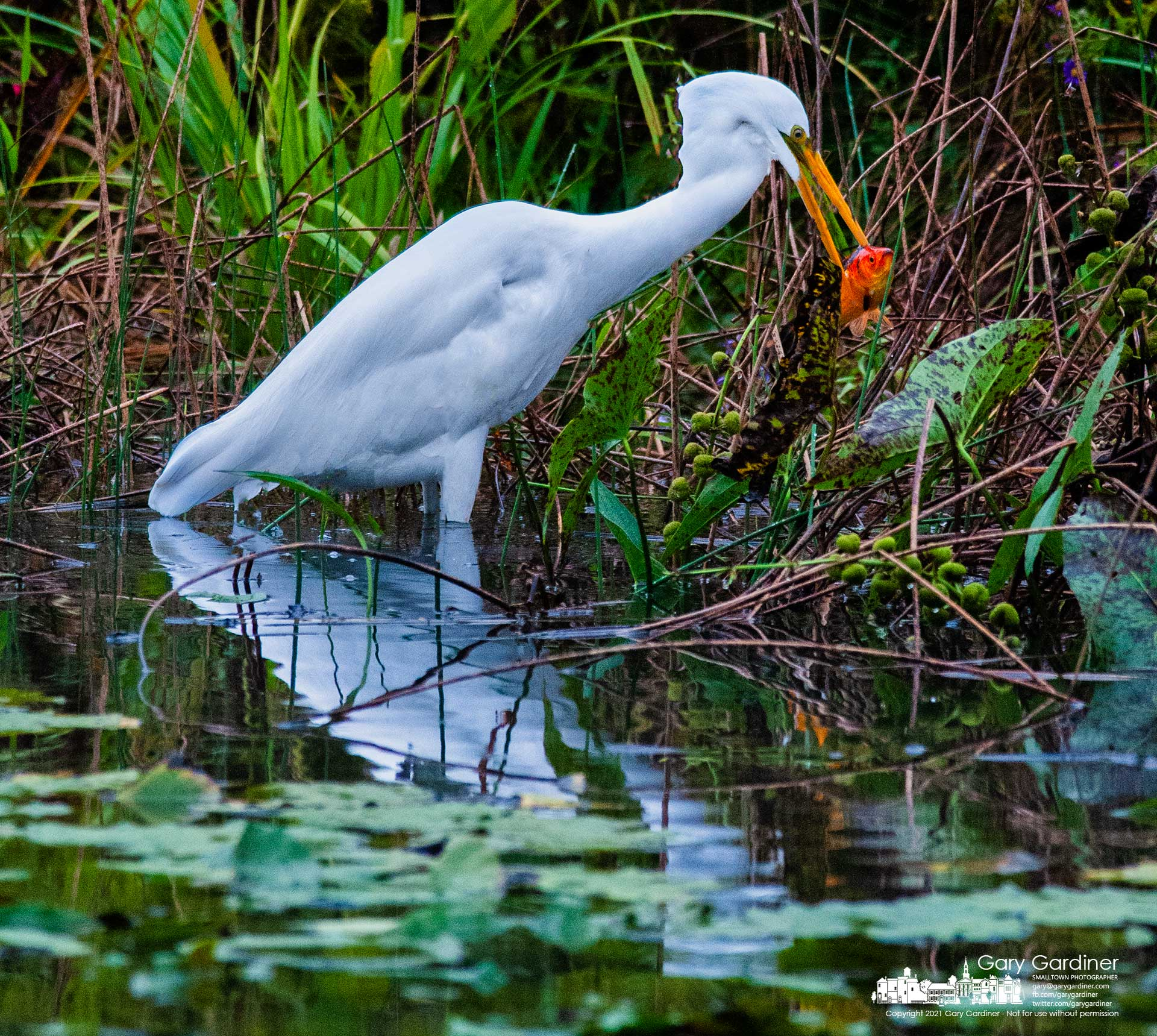 A great egret feasts on an abandoned goldfish pulled from the waters of the wetlands at Highlands during a break in Tuesday's rain. My Final Photo for Sept. 22, 2021.