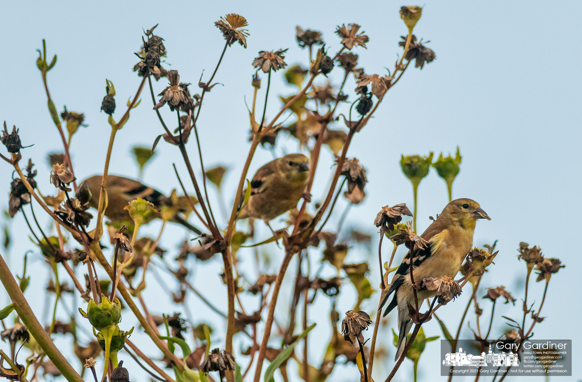 A flock of three nonbreeding goldfinch munch on the seeds of wildflowers growing along the wetlands at Highland. My Final Photo for Sept. 8, 2021.