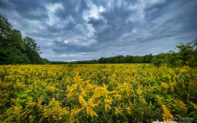 Goldenrod And Storm Clouds