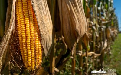 Field Corn Drying For Harvest